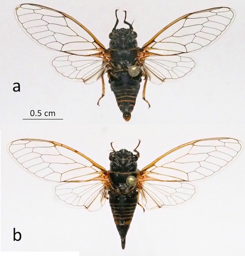 <em>Mezammira sakisi</em>, a - male holotype, b - female paratype 13 (photo M.G.)